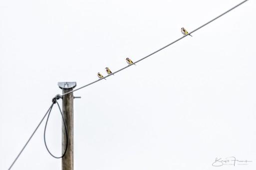 """""""Vier in einer Reihe""""– Stieglitze– 2020, ©Birgit Franik"""