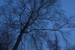 Subhash: «El abedul de azul #4778»