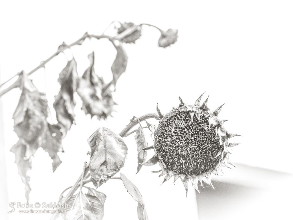 Subhash: «El girasol invernal #2672»