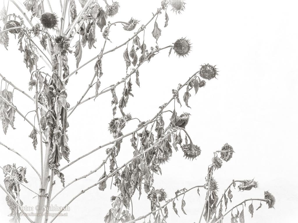 Subhash: «El girasol invernal #2683»