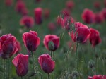 "Subhash: ""Hafer im Mohn #7751"""