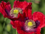 "Subhash: ""Mohn #7754"""
