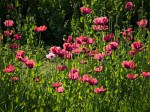 "Subhash: ""Mohn #7785"""