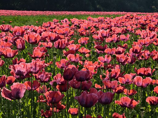 "Subhash: ""Mohn #7801"""