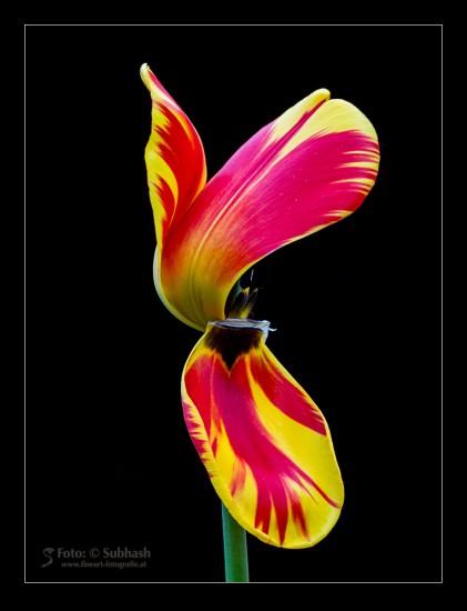 """Subhash: """"Tulipa #6105"""""""